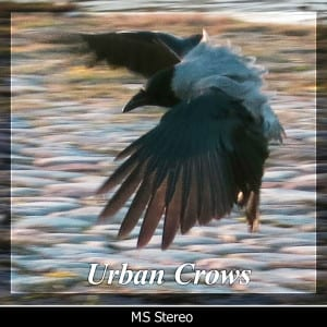 Urban_Crows_edit_600x600